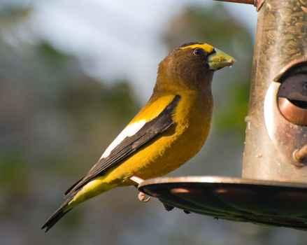 Free picture: evening, grosbeak, bird, feeder