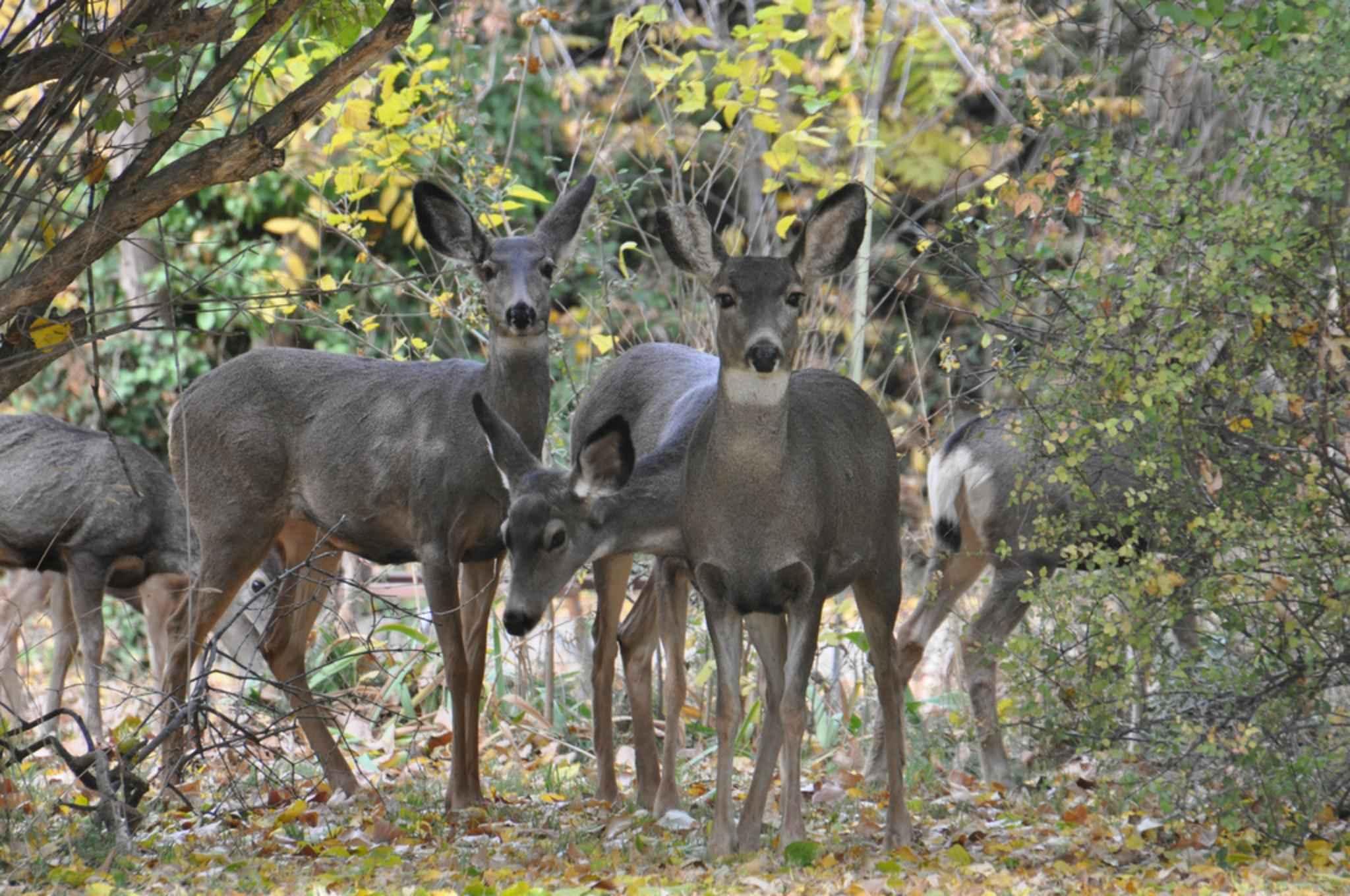 Free Picture Herd Deer