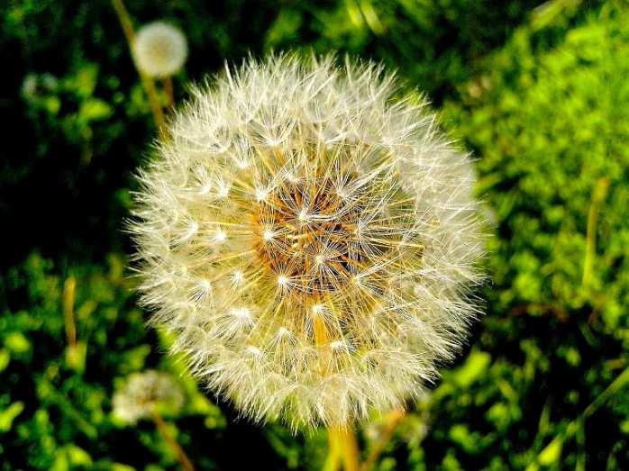 Image libre: pissenlit, graines, le vent