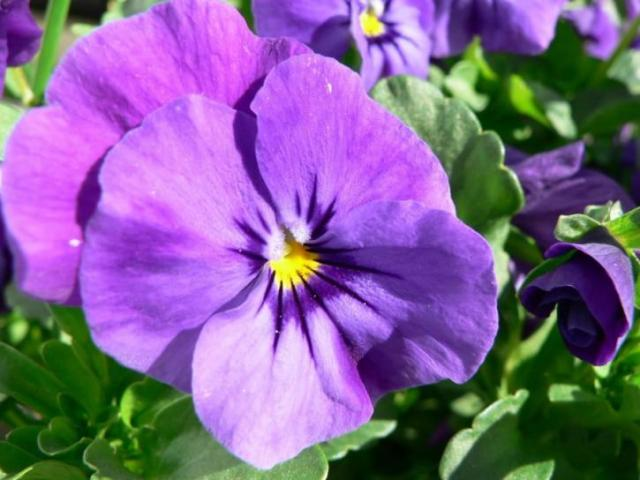 Free picture  purple  pansy  flower purple  pansy  flower