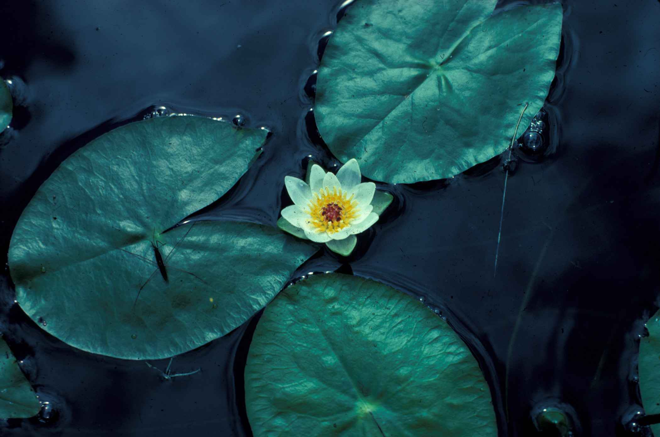 Surface Water Plants