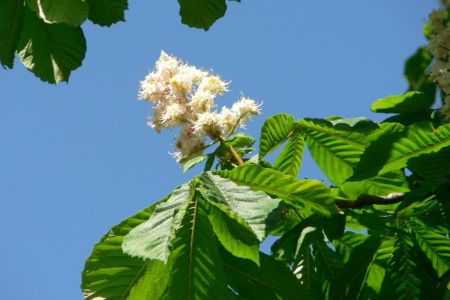 Beautiful flowers 2018 horse chestnut flower essence beautiful horse chestnut flower essence the flowers are very beautiful here we provide a collections of various pictures of beautiful flowers charming mightylinksfo