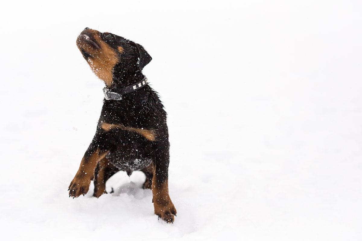 Foto av en hundvalp som jagar snö.