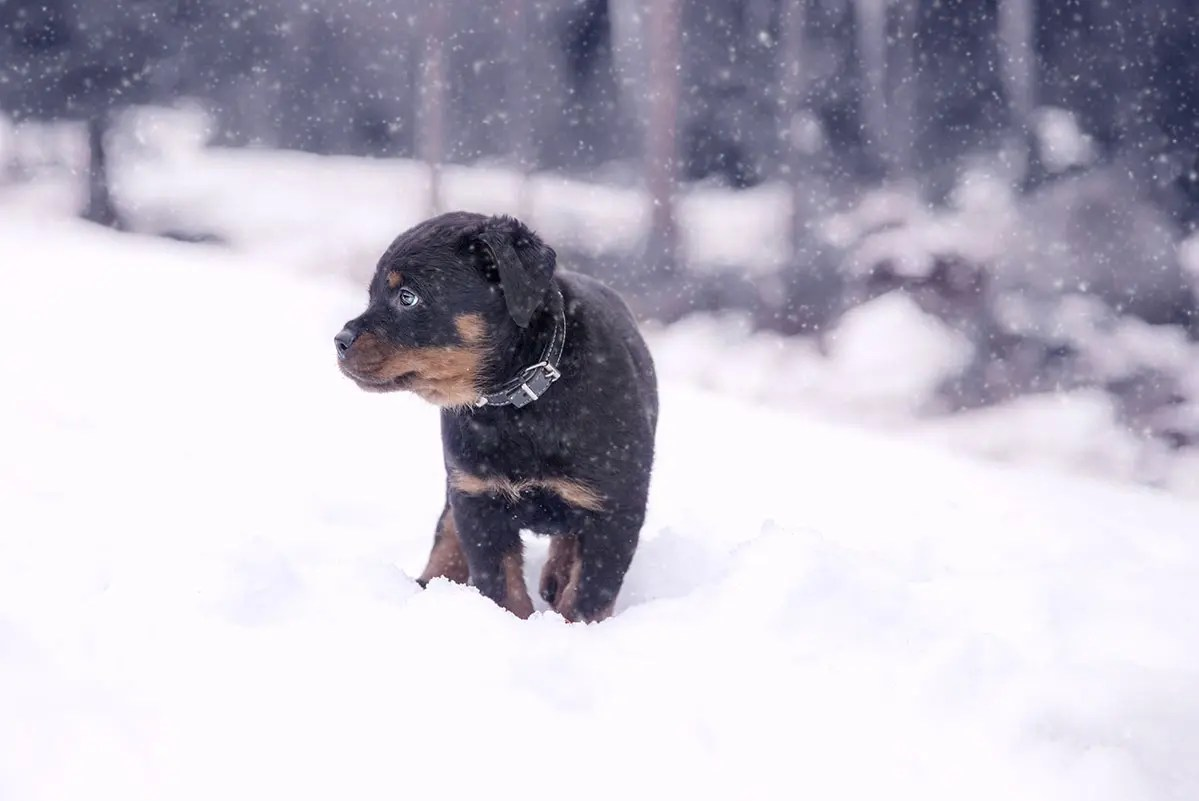 Ensam hundvalp i fallande snö
