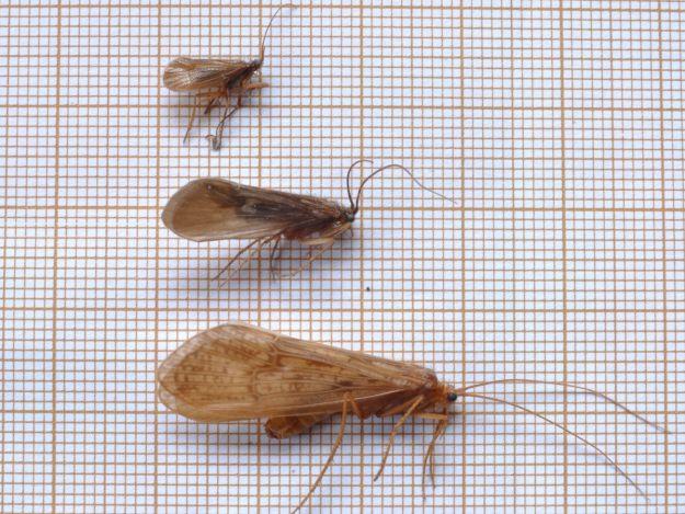 Présentation de différentes espèces de trichoptères retrouvés après leur cycle de vie.