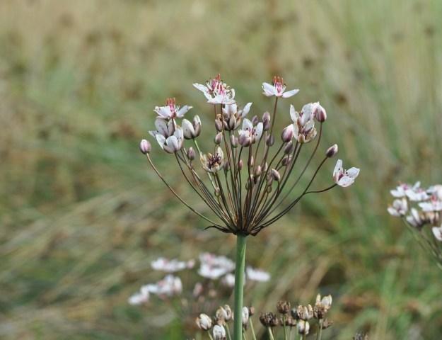Butome en ombelle (Butomus ombellatus) - famille des Butomacées -