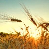 Wo die Ähren wogen zu der Erntezeit... (6 Bilder)