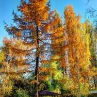 Eine Lärche im Herbst (1 Bild)