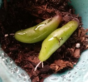 """""""Pork and Beans"""" sprouting roots!"""