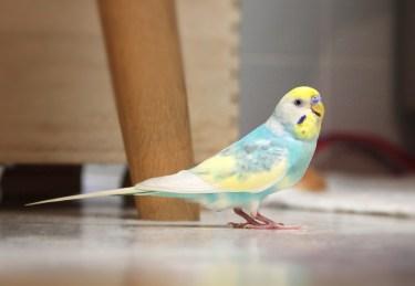 セキセイインコのウイングを飼いたい!羽の特徴と購入について