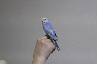 セキセイインコの散歩は室内で。毎日放鳥して運動させましょう