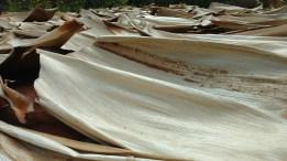 Dry Betel Nuts leaf