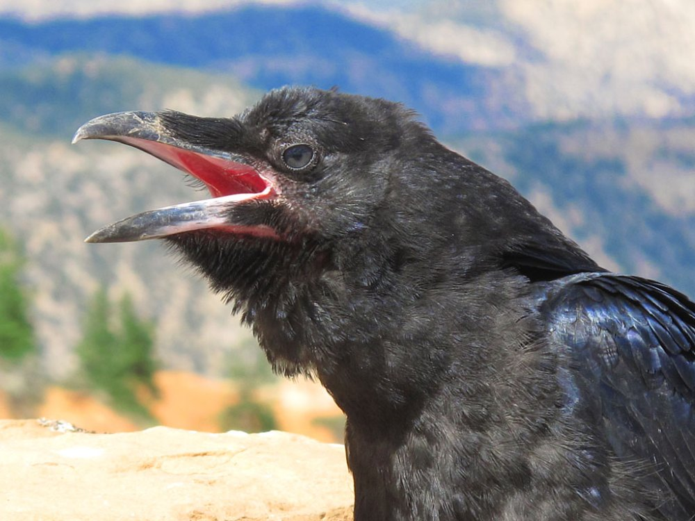 Beware of the ravens, for they will peck your eyes out.