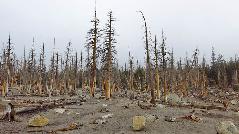 I'm here to report that the CO2 tree-kill area along the north shore of Horseshoe Lake is still dead. Soil gas in the tree-kill areas is composed of 20 to 90 percent CO2; there is less than 1 percent CO2 in soils outside tree-kill areas.