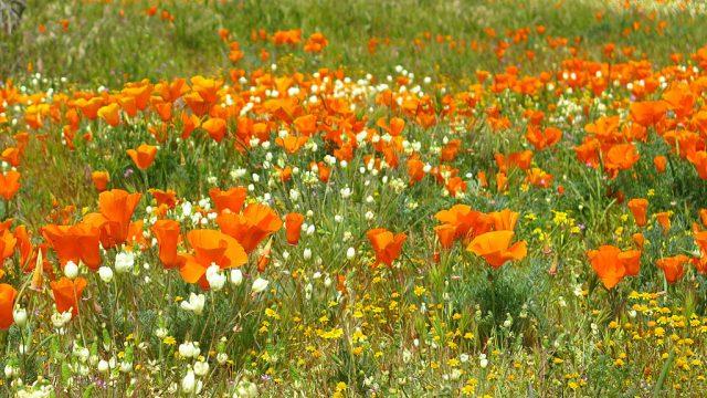 The California Poppy dominates the desert floor.