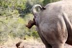 141 white-rhino---poop