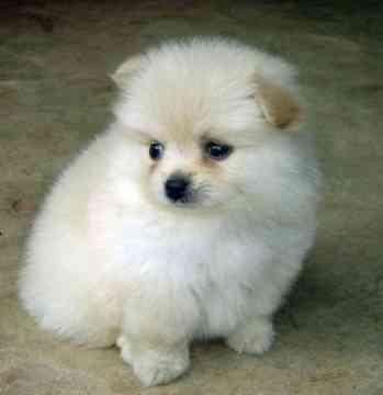 Pom Puppy