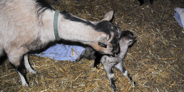 baby goats factor and ferocious_blog_2