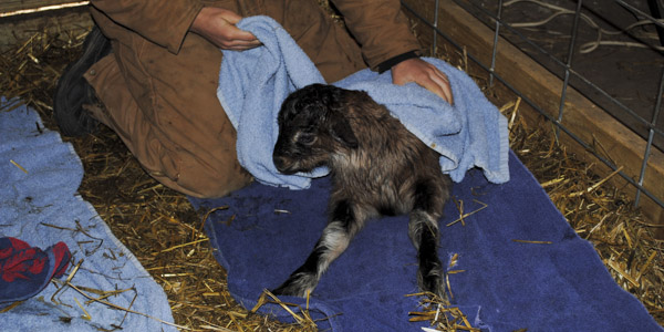 baby goats patriot_blog