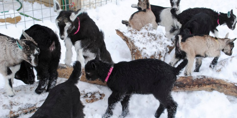 baby goats in the snow_20