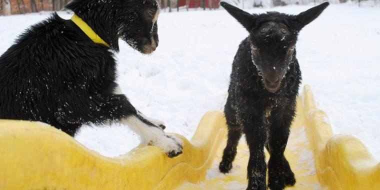 baby goats in the snow_21
