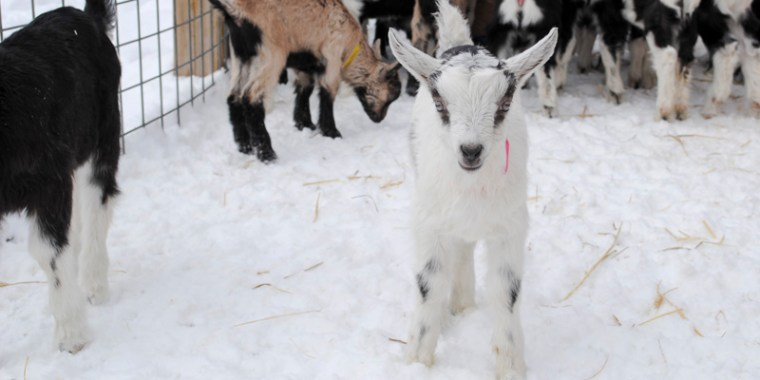 baby goats in the snow_3