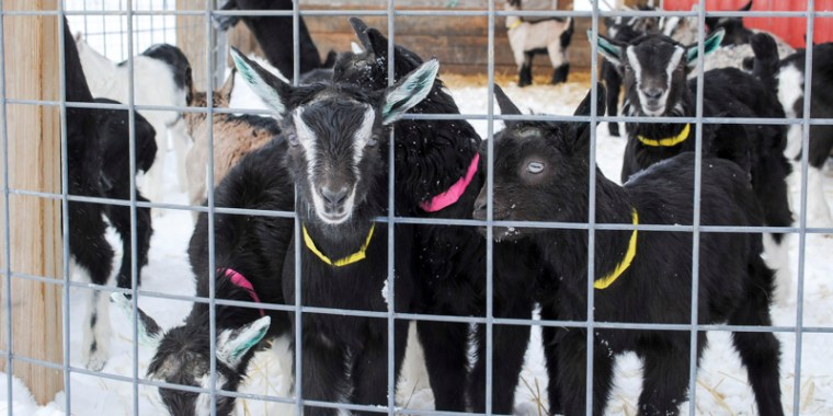 baby goats in the snow_7