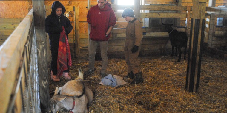 goat birth reluctant_blog