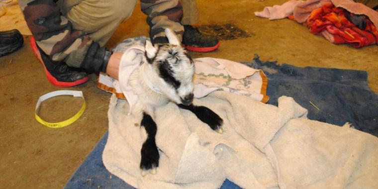 goat birth reluctant_blog_5