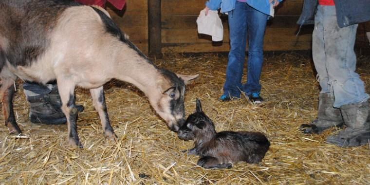 goat birth vanish
