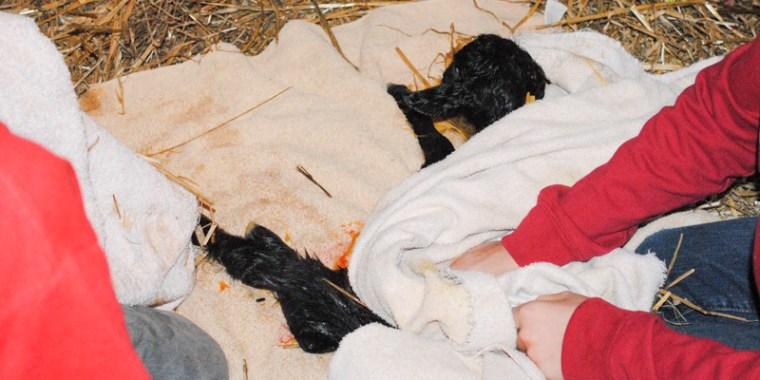 goat birth zipporah_2