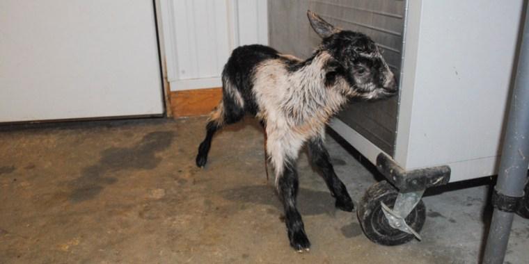 zany baby goats_blog