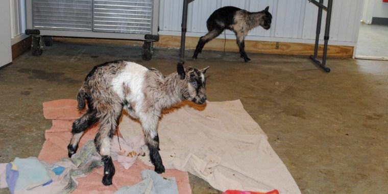 zany baby goats_blog_1