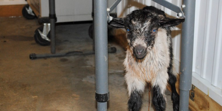 zany baby goats_blog_2