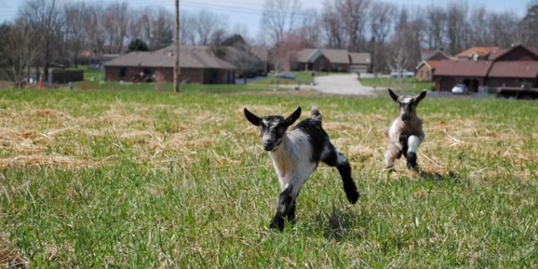 zany baby goats_blog_4