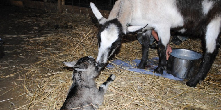 anne baby goats_blog