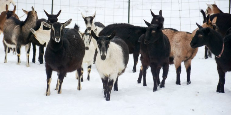 goats in the snow_blog_1
