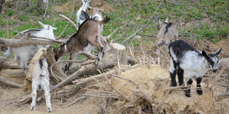 Baby Goats Climbing on Tree Stumps   PJ's Blog  Baby Goats Clim...