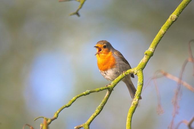 écouter le chant d'un oiseau
