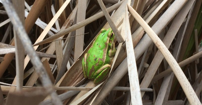 Green and Golden Bell Frog at Coomaditchie Lagoon