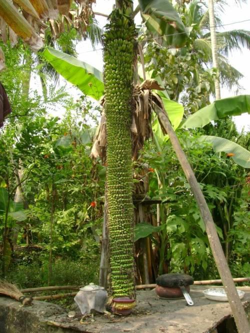 Amazing Bannana Tree