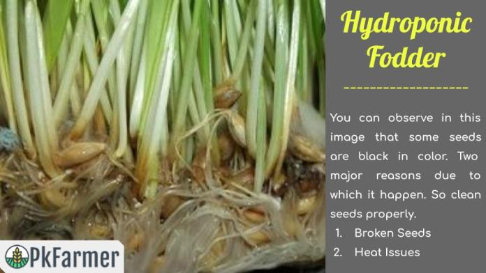 Hydroponic Fodder Issues