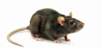 Najiskah Bekas Gigitan atau Jilatan Tikus?