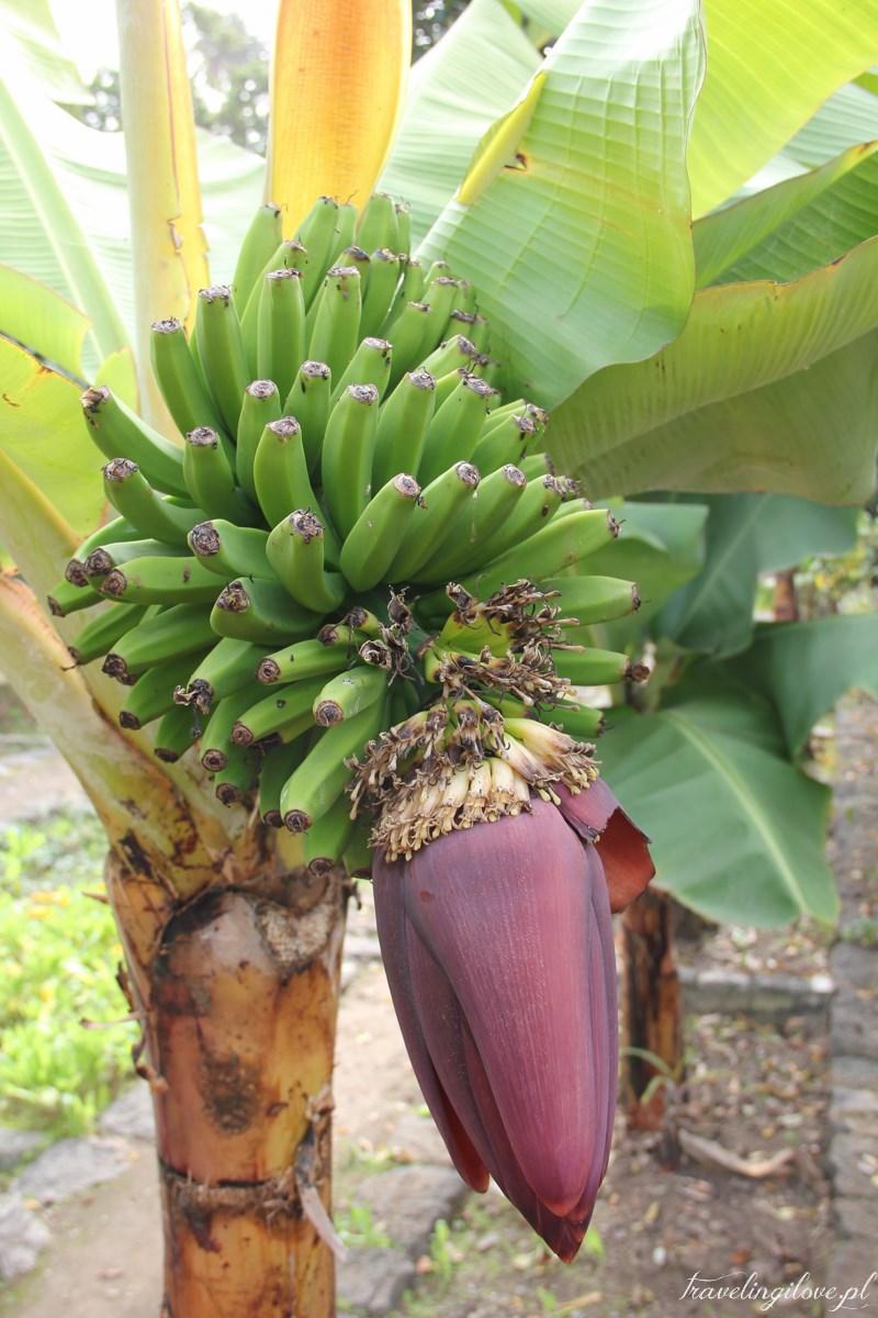 Bananowce na Teneryfie (3)