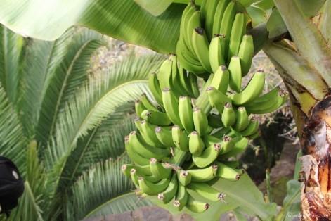 Bananowce na Teneryfie (4)
