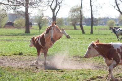 Kalveren, in de wei, lente, boer Boon, Wekerom, foto Dier&Recht