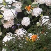 Association hortensia hémérocalle, blanc orange