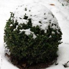 buis-neige