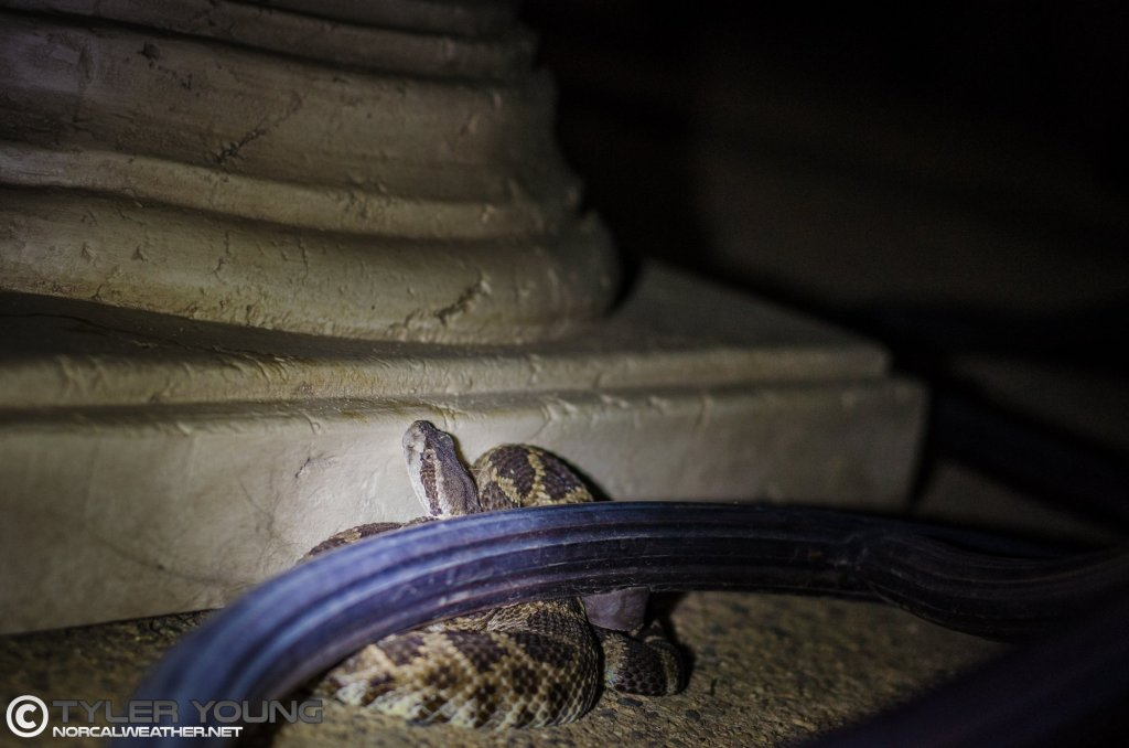 A rattlesnake I removed from a backyard patio in the late evening earlier in September.
