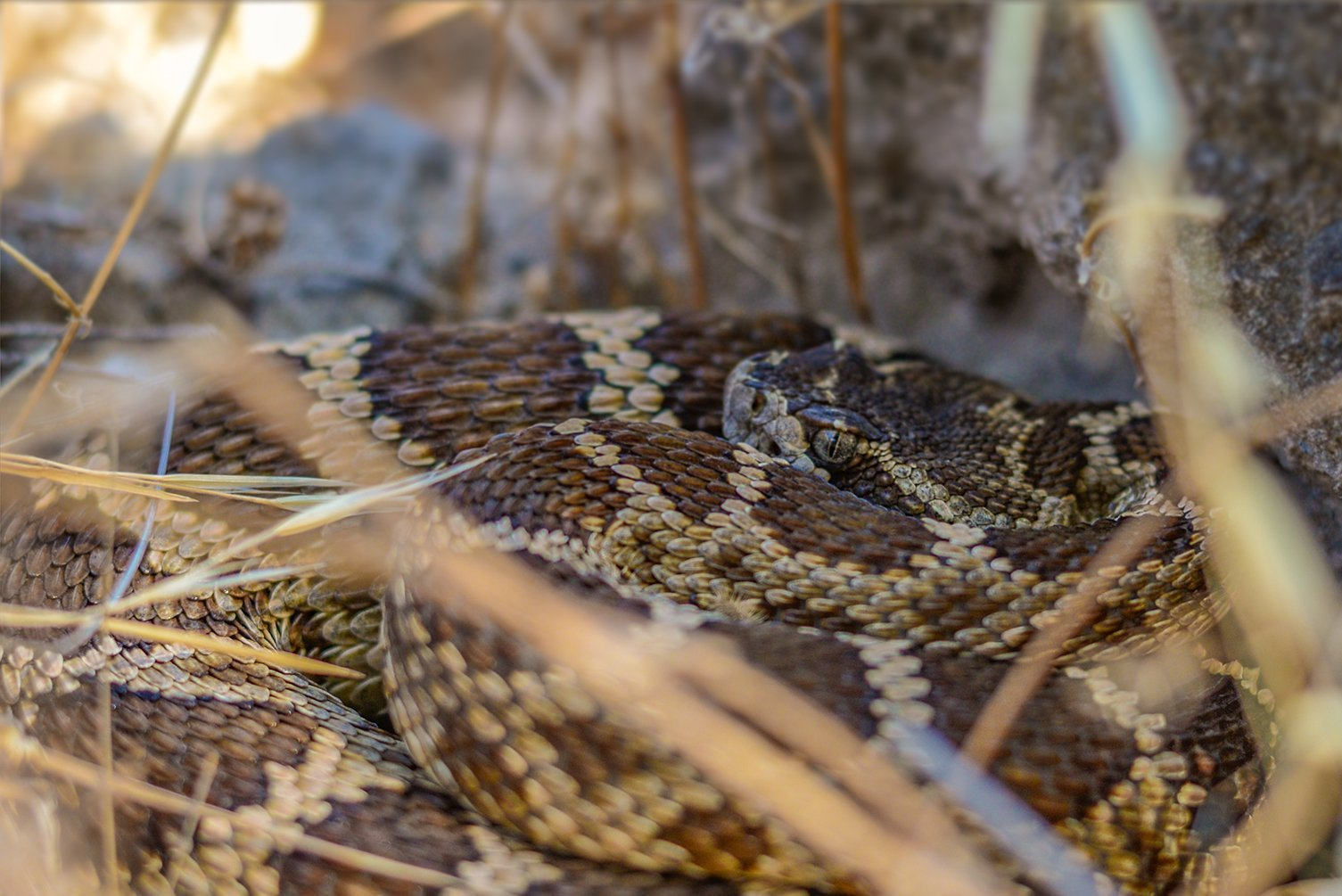 Where Do Rattlesnakes Go During Heatwaves?